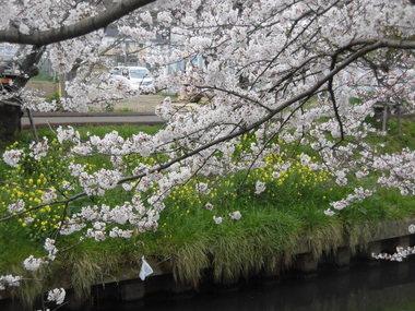 海老川の桜 003.JPG