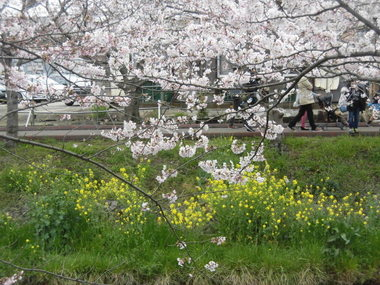 海老川の桜 004.JPG
