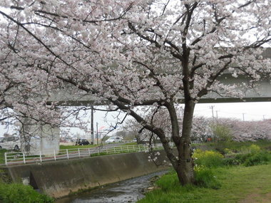 海老川の桜 015.JPG