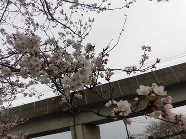 海老川の桜 016.JPG