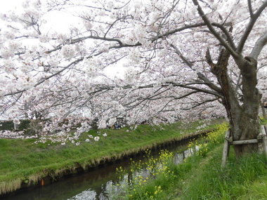 海老川の桜 017.JPG