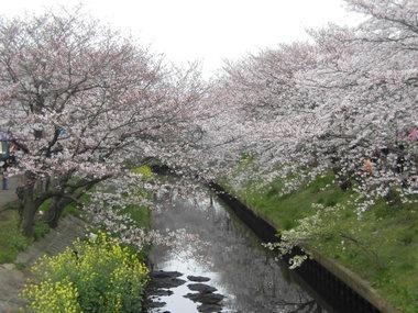 海老川の桜 025.JPG