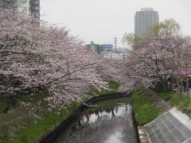 海老川の桜 026.JPG