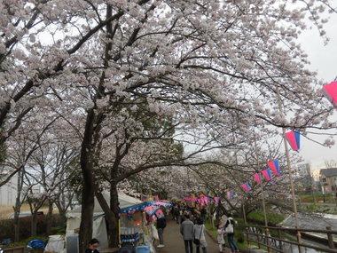 海老川の桜 049.JPG