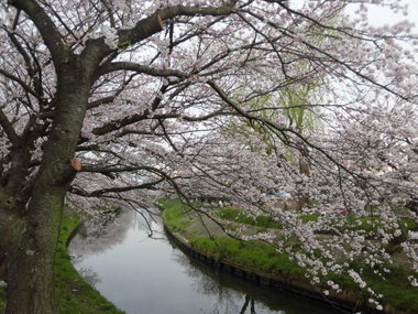 海老川の桜 054.JPG