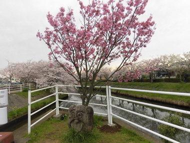 海老川の桜 055.JPG
